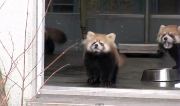 超絶可愛い!! 突然現れた飼育員の足に驚いてひっくり返るレッサーパンダが可愛すぎる