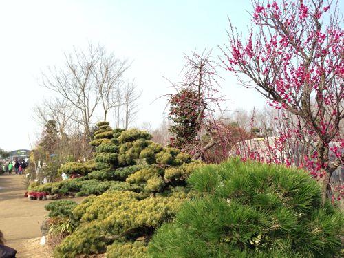 くまもと春の植木市2013。今年も行ってきた国内最大規模の植木市!植木だけじゃない楽しさに超満足